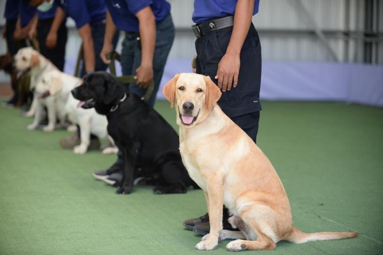 ฝึกสุนัขดมกลิ่นผู้ป่วยติดเชื้อโควิด-19 ไม่แสดงอาการ แม่นยำ 94.8%